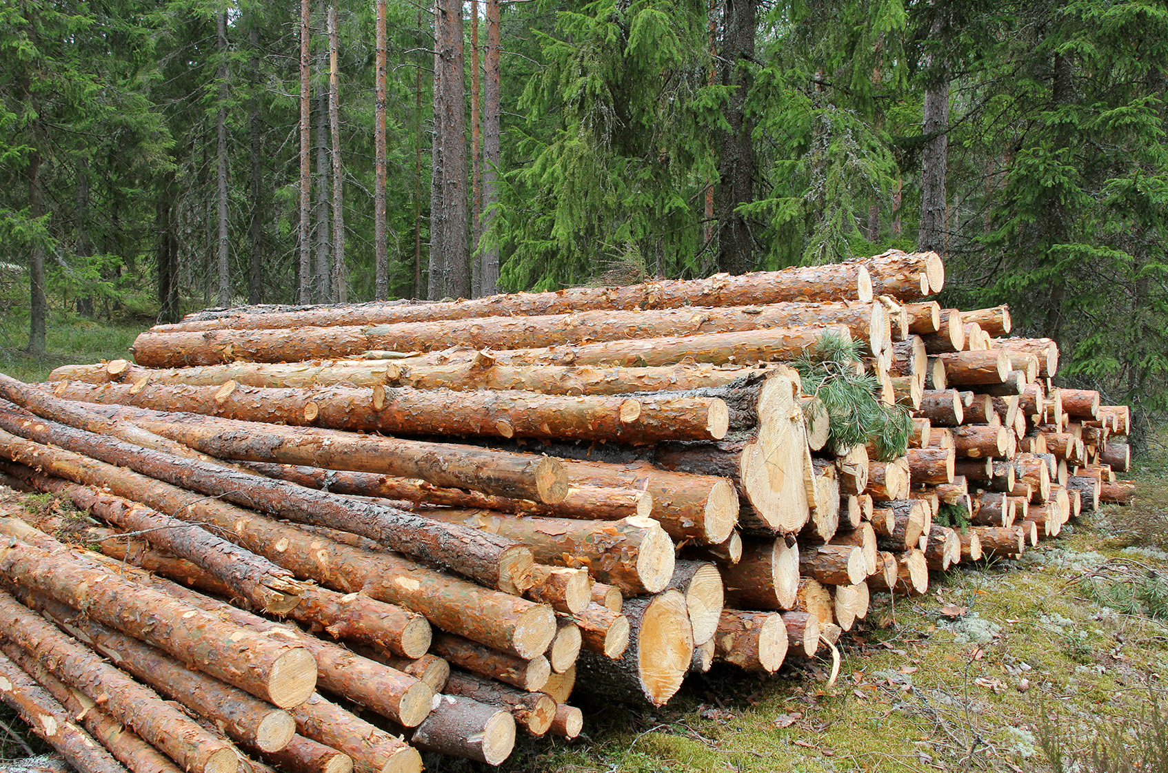5 canadian lumber stocks that could get thumped by trump for Pine tree timber